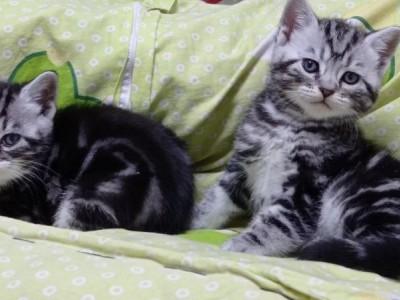 长春家养美短猫