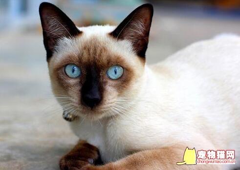 暹罗猫颜色分类