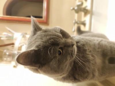 新品蓝猫弟弟四个月胖嘟嘟的很健康疫苗已打完特别阔爱♡特别粘人