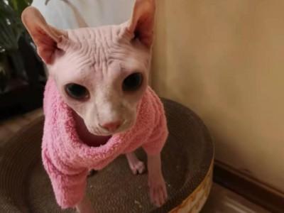 家养斯芬克斯猫,无毛猫出售,坐标黑龙江省哈尔滨市道里区