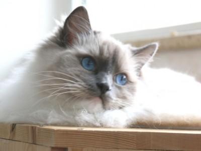 布偶猫,自家养的,性格温柔粘人,全款1999