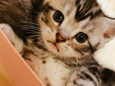 自家美短小公猫