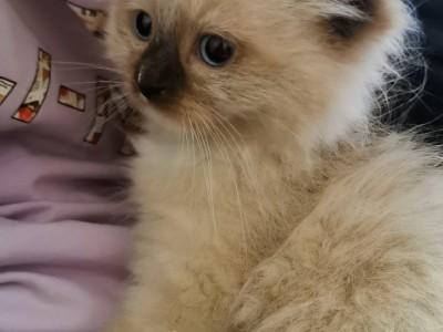 两月幼猫,性格好,粘人。