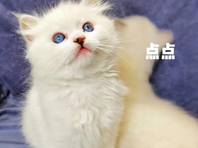 两个多月布偶猫(喜欢的欢迎咨询)