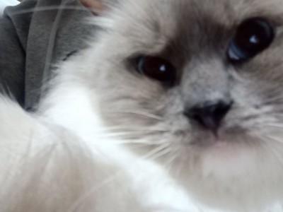 家里不给养,一岁多布偶猫,眼睛4度蓝,爆毛