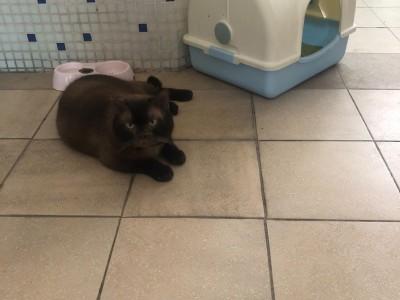 苏格兰折立大肥黑猫
