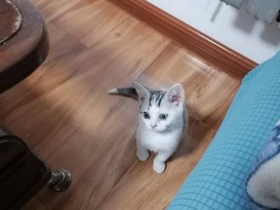 纯家养美短,自己大猫生的宝宝