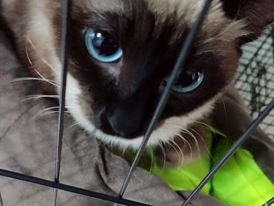 暹罗猫,女生8个月了