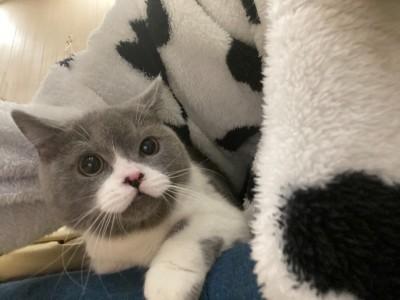 英短蓝白6个多月,送猫砂盆,猫粮