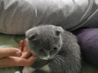 折耳蓝猫 安静,乖巧,吉林长春