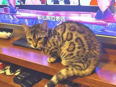 超酷的豹猫 待字闺中求入赘 内江周边均可上门