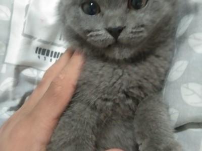 河南 濮阳 纯种英短蓝猫