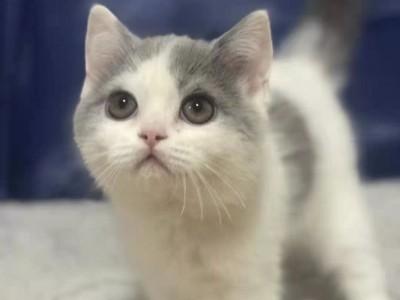 英国短毛猫蓝白弟弟净樊自家繁育有猫小猫个人家