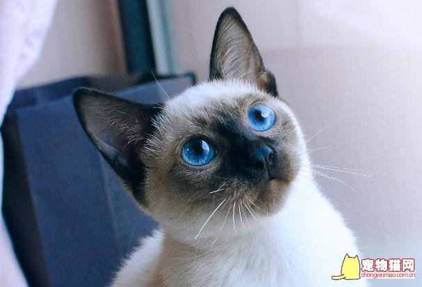 暹罗猫的优点