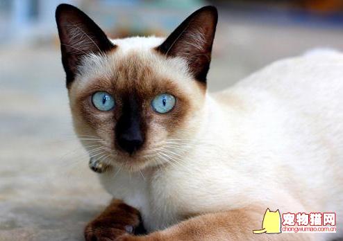暹罗猫没到一岁配可以吗
