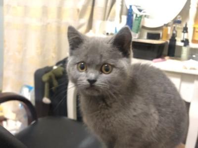 南京自家英短蓝猫 性格好 很粘人