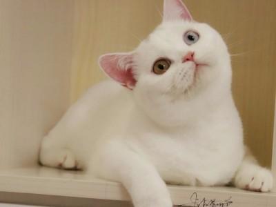 英短猫出售 坐标江西省景德镇市乐平市