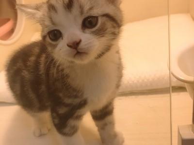 辽宁营口自家猫舍2个半月美短加白小弟弟