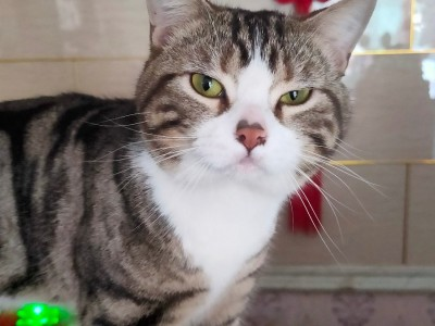 出售养了一年的虎斑猫,送猫粮,猫砂,猫盆,猫箱