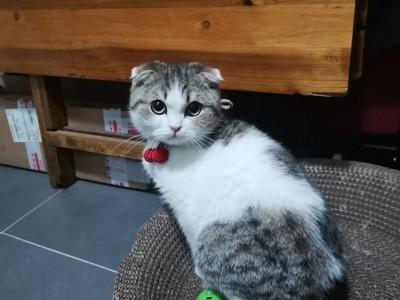 美短猫,五个月,所有东西都有,打包出售。