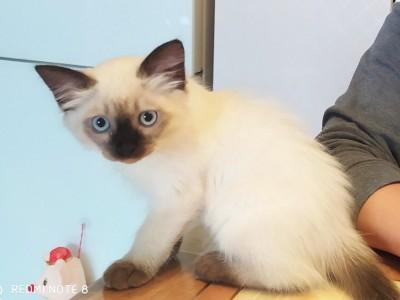 暹罗猫幼崽忍痛出售