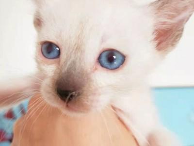 暹罗猫母宝宝北京转让