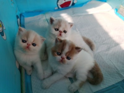 纯种加菲猫幼崽三只出售