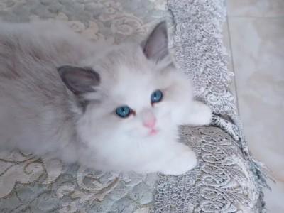 自家繁育存种布偶猫