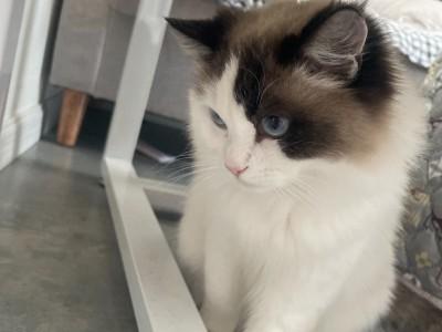 贵阳北站附近,布偶猫,品种纯正,会吃猫粮,会用猫砂