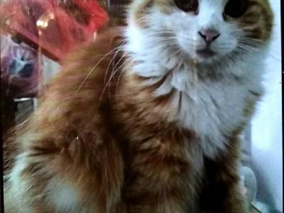 霸气缅因布偶猫西伯利亚森林猫王(猫图三张)