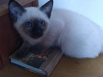 哈尔滨自家培养纯种暹罗猫三个月