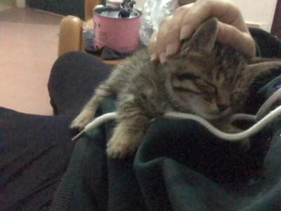 狸花猫一个月点大会用猫砂送猫砂猫粮10斤