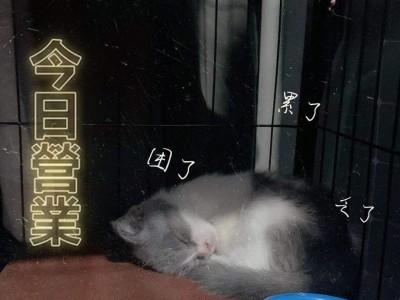 出售一只可爱的英短蓝白弟弟,带四层猫笼、猫粮、猫砂及全套用具