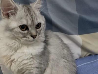 金吉拉和银渐层混的 母猫 疫苗齐全 没有绝育 附赠猫粮猫砂