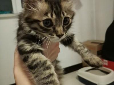 山西省朔州,因缅猫串串。2个半月,很好养,小公猫
