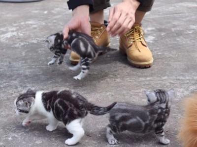 自家美短纯种小脑虎5粉会吃猫粮会用猫砂脾气好品相佳送包送猫砂