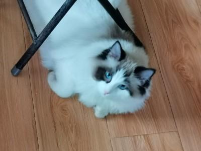 家养布偶猫出售,坐标陕西咸阳,家人不让养了