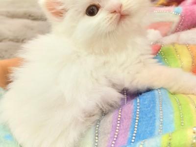家养长毛纯白蓝眼睛哦!