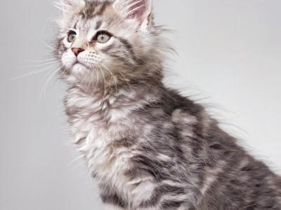 银虎幼猫缅因   已经打过一针疫苗 体内外驱虫  健康活泼
