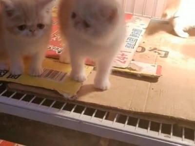 江苏徐州市自家繁育加菲猫两公一母,品相完美