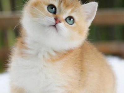 金渐层猫咪出售,精品金渐层,喜欢的咨询 全国可发货