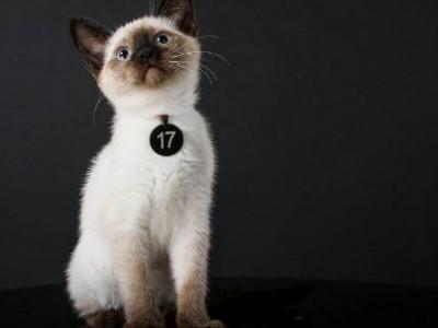暹罗猫精品暹罗猫咪 气质好品相到位 可以上门可以发货