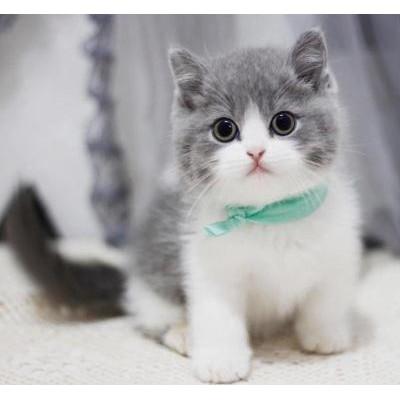 猫舍:出售蓝白猫 蓝猫 美短 银渐层 暹罗猫  布偶 金吉拉