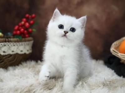 猫舍:出售蓝白猫 蓝猫 美短 银渐层 暹罗猫  布偶 吉拉