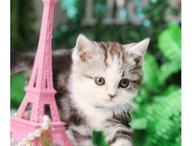 猫舍出售蓝白猫 蓝猫 美短 银渐层 暹罗猫  布偶 金吉拉