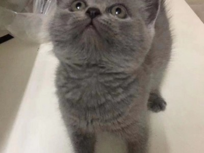 出售纯种英短蓝猫一只,自家猫生的猫崽崽