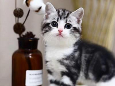 美短猫咪出售,精品 公母均有 美国短毛猫咪
