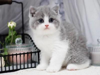 蓝白猫咪,精品蓝白,支持上门看 矮脚蓝白猫 杭州