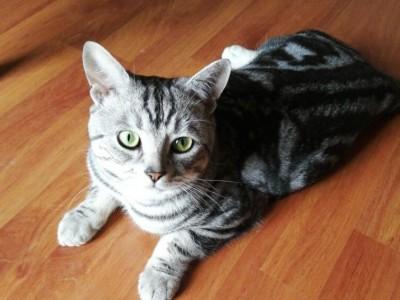 四川成都 美短猫