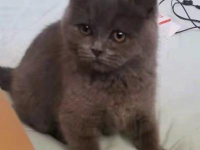 河南省刚出生三个月的美短蓝猫